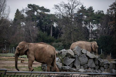 Népal et Baby, dans leur enclos du Parc de la Tête d'or le 19 décembre dernier.