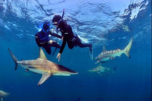 En classant le site d'Aliwal Shoal en 2005, l'Afrique du Sud est devenue l'un des rares pays à dédier un sanctuaire aux requins. Leur réputation de mangeur d'hommes nuit à la prise de conscience du péril écologique que fait peser sur l'équilibre des océans le massacre de millions d'entre eux.