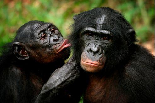 Les bonobos sont des primates pacifiques, aux relations sociales très fortes.