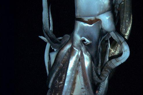 Image fixe diffusée par la NHK du calmar géant filmé entre 600 et 900 mètres de profondeur.