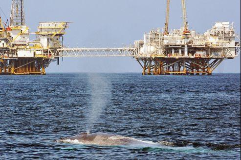 Le bruit généré par les forages provoque sur les cétacés des dégâts considérables (ci-dessus, une baleine bleue nageant devant une plate-forme pétrolière dans l'océan Pacifique, au large des côtes californiennes).