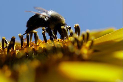 Les trois insecticides systémiques de la famille des néonicotinoïdes ont pour effet de désorienter les abeilles au point de les rendre incapables de retrouver leur ruche.