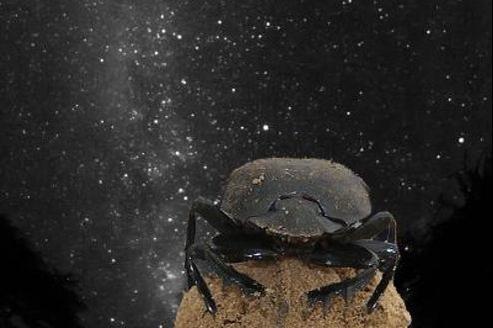 Le bousier serait le premier cas recensé d'insecte s'orientant grâce aux étoiles.