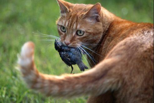 Les chats domestiques tuent entre cinq et dix oiseaux par an, trente à cinquante pour les chats errants.