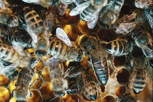 En saison active, une colonie compte autour de 40 000 abeilles de tous âges.