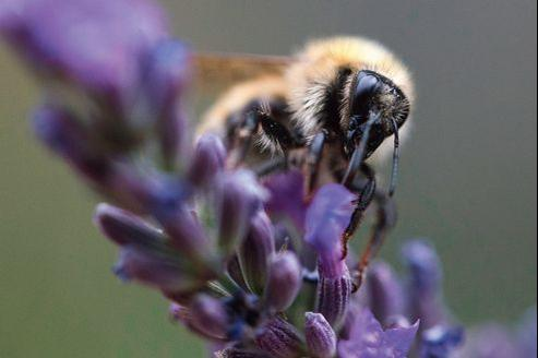 Un bourdon, pollinisateur d'un grand nombre de plantes, butine des fleurs de lavande dans le sud de la France.