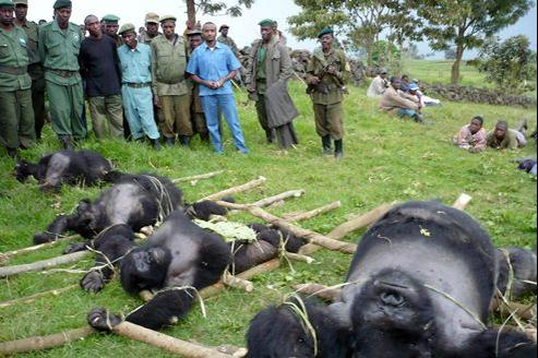 Des gorilles victimes du braconnage au Congo, en 2007.