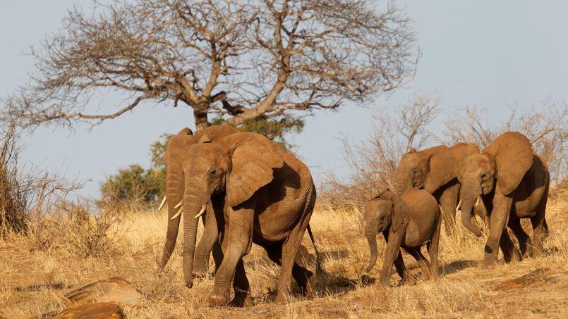 Une troupe de jeunes éléphants dans la réserve de Tsanvo au Kenya.