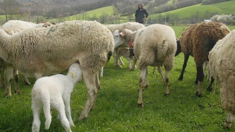 Un élevage de moutons dans les Pyrénées.