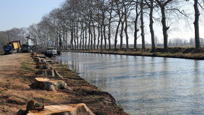 L'abattage des arbres infectés est le seul moyen d'empêcher la maladie de se propager le long du canal.