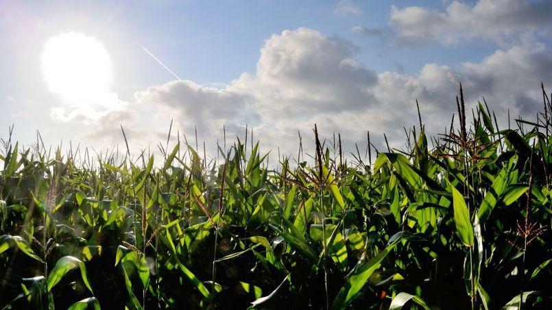 Un champs de maïs transgénique à Godewaersvelde (Nord).