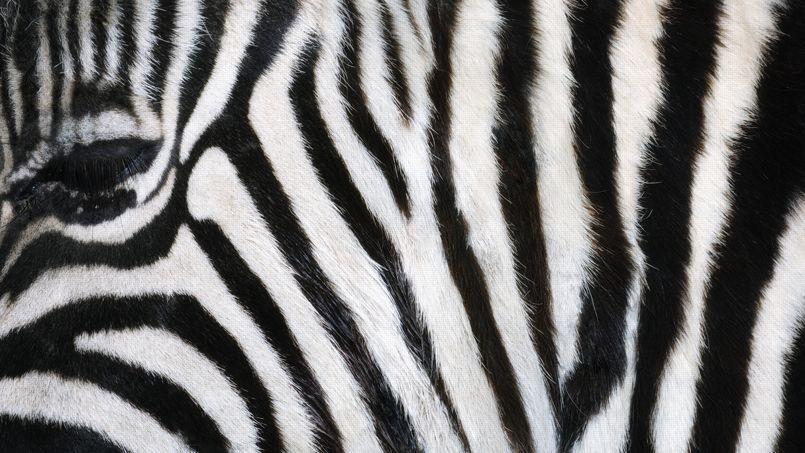 Zoologie la couleur dans la peau - Peau de zebre ...
