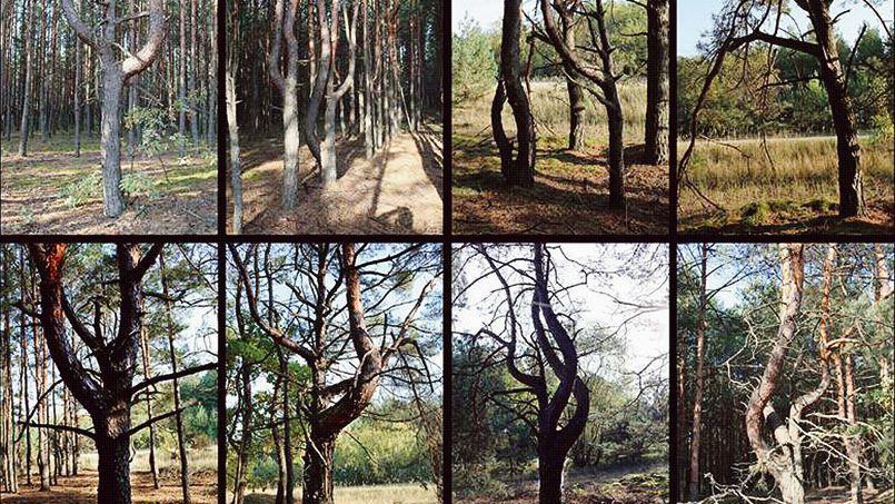 Les pins étudiés se trouvent à l'intérieur de la zone d'exclusion de Tchernobyl.