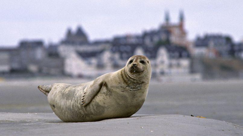 Les phoques, après avoir déserté nos côtes, sont de retour depuis une vingtaine d'années.