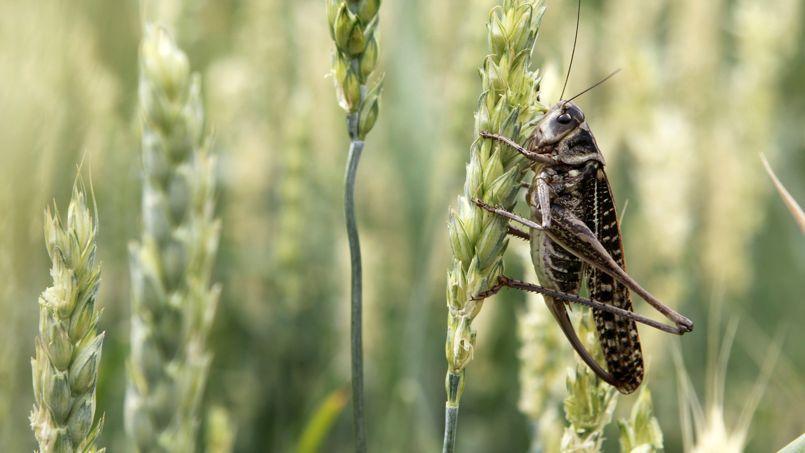 La hausse globale des températures permet à certains insectes de migrer plus loin vers le nord (ici, une sauterelle en Russie).