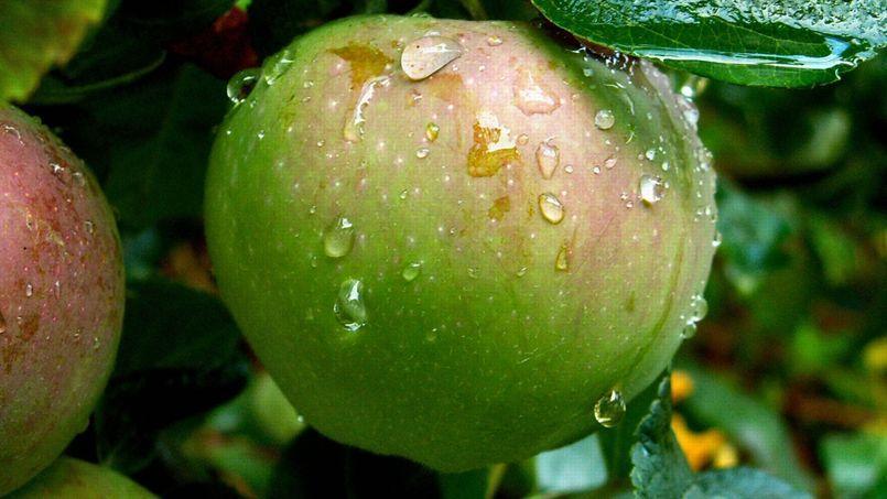 Les pommes doivent être exclusivement cueillies à la main; celles qui sont tombées ont subi des chocs qui les rendent impropres à la conservation de longue durée.