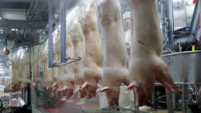 Cochons dans un abattoir de Montfort-sur-Meu en 2007.