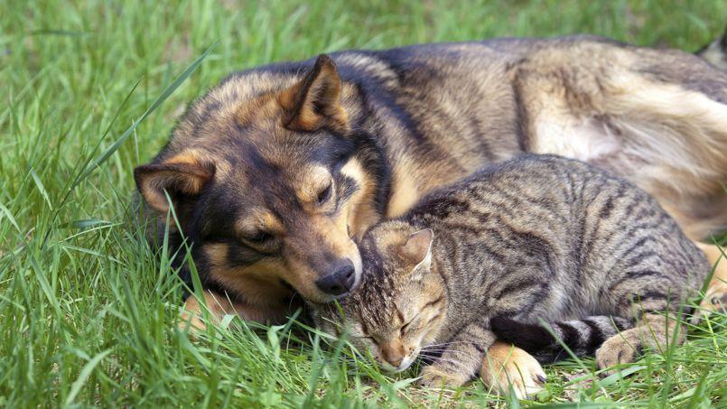 Aquérir un animal demande réflexions. En effet, c'est pour de nombreuses années que les nouveaux maîtres vont s'engager.