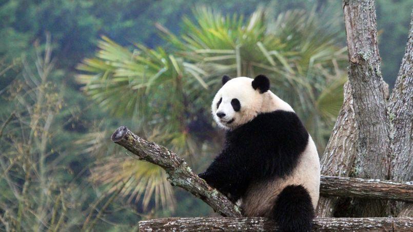 Huan Huan a fêté son cinquième anniversaire en 2013.