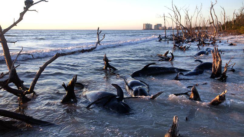 25 dauphins pilotes ont été retrouvés morts sur les côtes de la Floride.