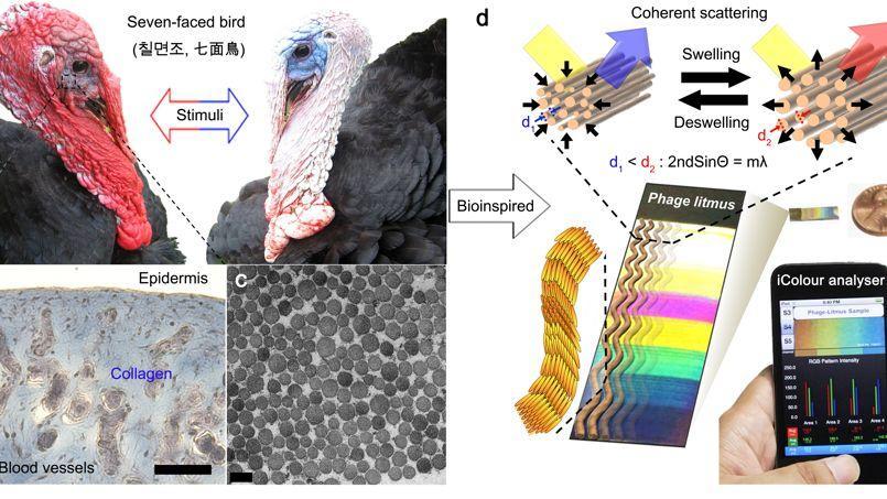 L'appareil de détection utilise le même procédé que les fibres de collagène présentes dans la crête du dindon. Leur organisation change selon l'excitation de l'animal.
