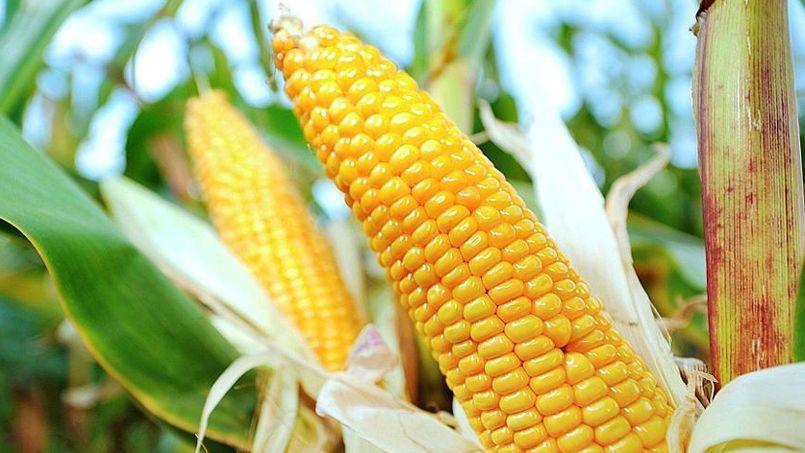 Champ de maïs à Godewaersvelde, dans le département du Nord en région Nord-Pas-de-Calais