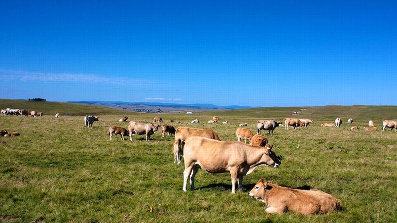 Une vache coûte aujourd'hui 1630 euros ©sk8em/Flickr