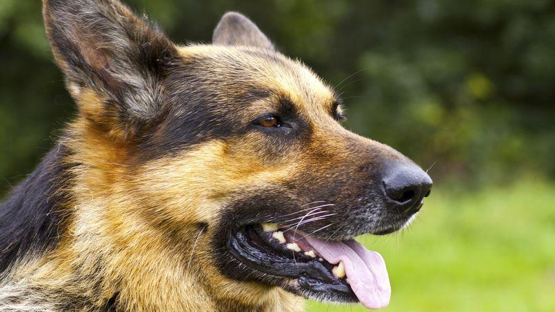 Le nombre de chiens baisse en France comparé à celui des chats mais ceux de pure race ne semblent pas être affectés par ce fléau.