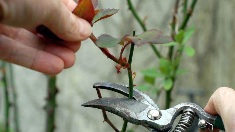 Au jardin ce week end vos s cateurs - Rosier mange par des chenilles ...