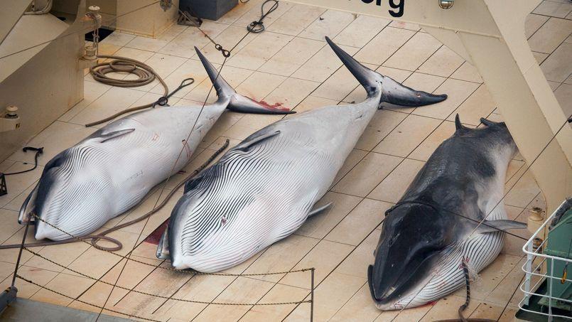 Trois baleines chassées sur un navire japonais en janvier 2014.