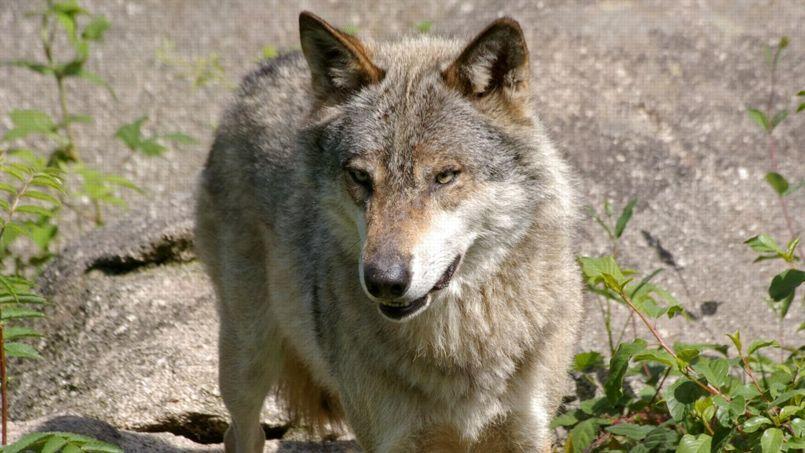 Le loup est réapparu dans les Alpes en 1992 (Crédit: sybarite48 sous licence Creative Commons)