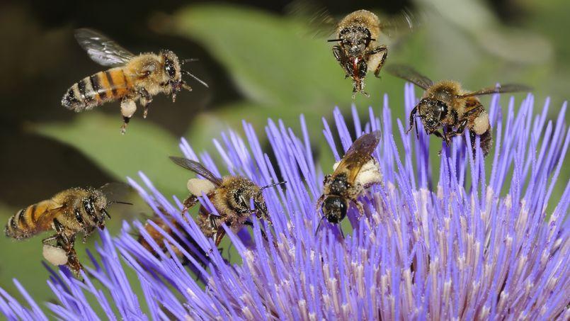 Sensibles à la lumière, les abeilles butinent dans la journée en période de floraison.