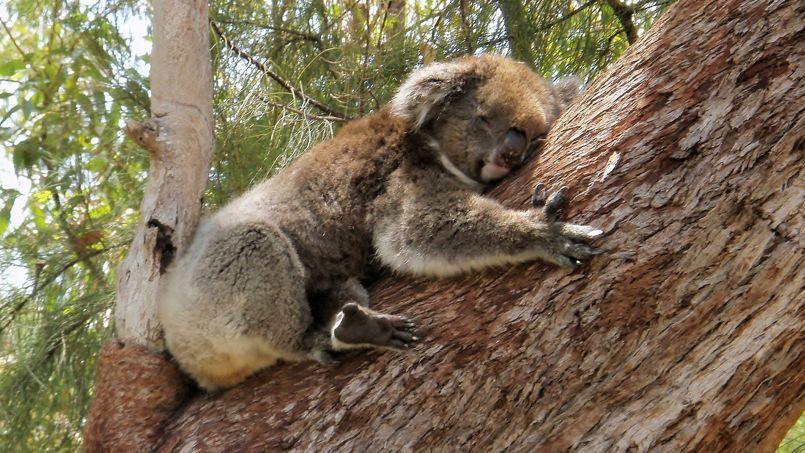 Le koala câline les arbres pour mieux se rafraîchir