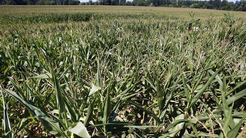 Un champ de maïs transgénique à Paillet, photographié en 2007 lors d'une opération anti-OGM. Quelque 80 faucheurs volontaires ont mené une opération anti-OGM à Paillet, près de Langon, où ils ils ont prélevé des pieds de maïs transgénique, sans procéder à un fauchage.