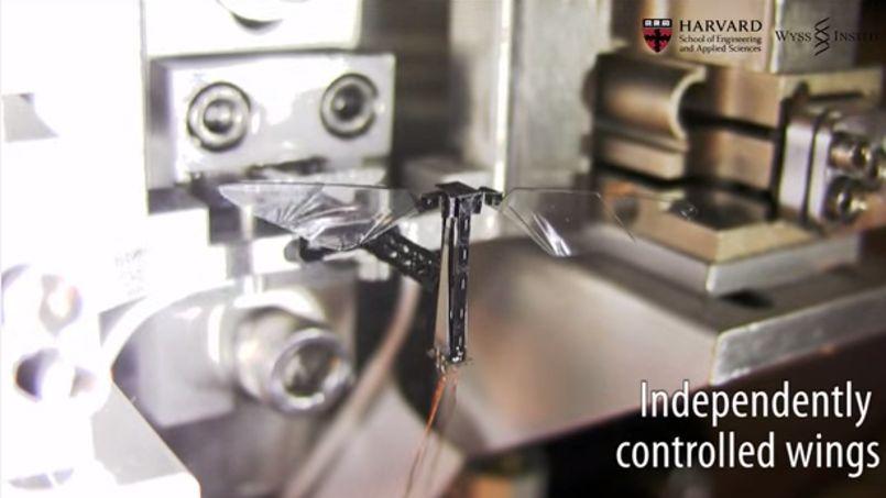 Les RoboBees sont des petits robots de trois centimètres dont les ailes sont capables de battre 120 fois par seconde. Crédits photo: DR