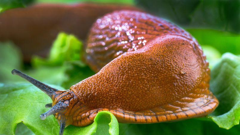 La grosse limace rouge ( Arion rufus) fait des ravages dans les potagers. Crédit photo: Gina Sanders/Fotolia.com