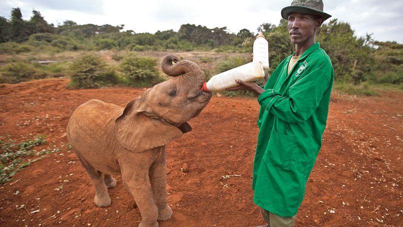Au début du siècle dernier, on estime qu'il y avait 20millions d'éléphants en Afrique. En 1980, il était estimé à 1,2million et aujourd'hui à 500.000.