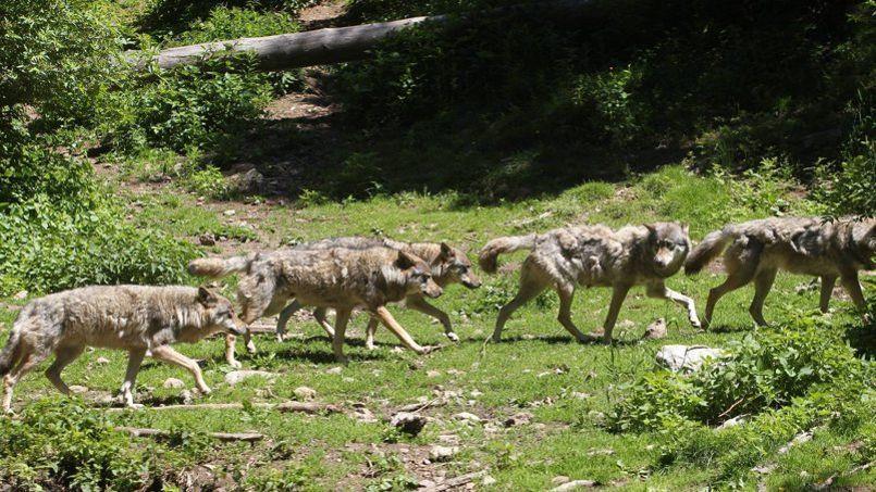Une meute de loups près de Saint-Martin-Vésubie (Alpes-Maritimes) en juillet 2012.