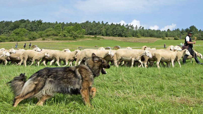 Des chercheurs ont découvert l'algorithme du chien de berger, qui en régit les actions.