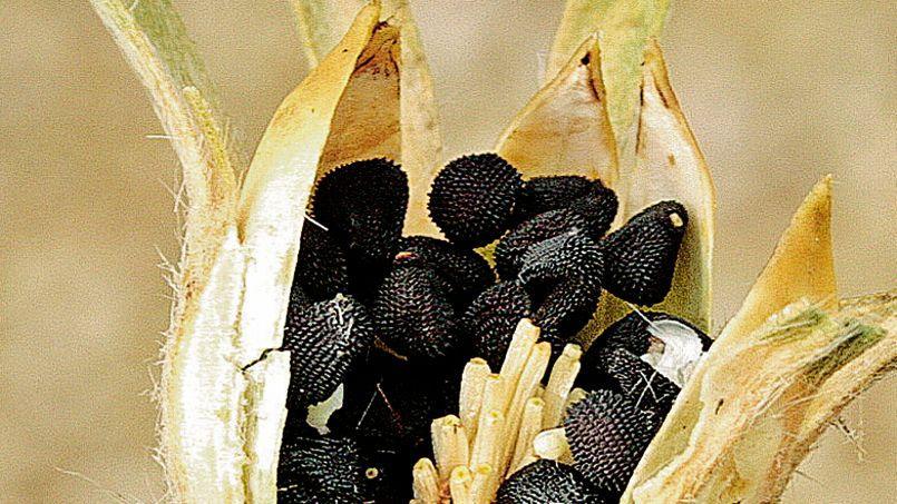 Non, ce n'est pas une mine de truffes… Mais des graines noires à tégument réticulé contenues dans une capsule de nielle-des-blés. DR