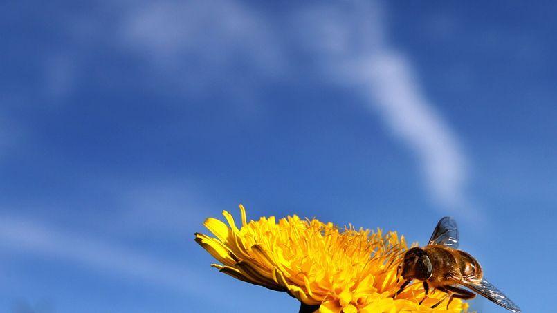 Les chercheurs néerlandais ont analysé le pollen contenu dans des spécimens de 57 différentes espèces d'abeilles datant d'avant 1950.