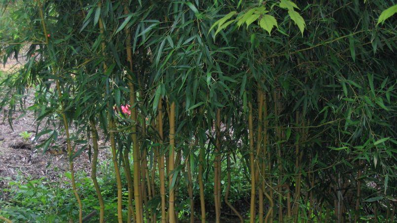 bambou existe t il des plantes capables de freiner sa prolif ration. Black Bedroom Furniture Sets. Home Design Ideas