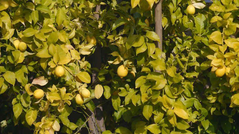 Jaunissement du citronnier est ce une carence en fer - Feuilles de rosier qui jaunissent ...