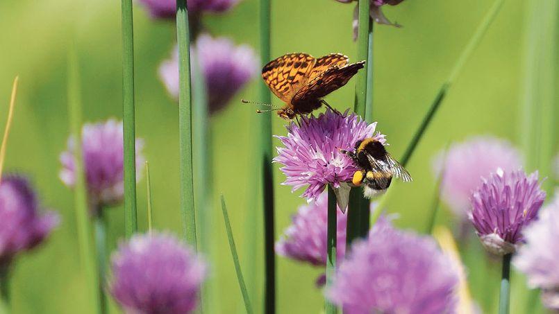 Un papillon et un bourdon partageant une fleur de ciboulette.