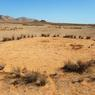 Lors de la saison sèche, les cercles de fées sont la seule végétation qui subsiste, notamment pour les gros herbivores qui peinent à trouver de quoi se nourrir. (Namibie)