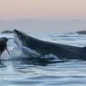 FAST FOOD. Sale temps pour les phoques. Dès que la nuit commence à tomber sur les eaux sombres de False Bay, en Afrique du Sud, les grands requins blancs décident de passer à table. Et c'est peu dire qu'ils ont les crocs... Au menu en cette saison: du phoque, encore du phoque, toujours du phoque! Tant mieux pour les requins, qui en raffolent. Tant pis pour les mammifères marins, qui vont payer un lourd tribut aux prédateurs. La tactique des requins est invariable. Tapis sous quelques mètres d'eau, ils attendent que les phoques se rassemblent au-dessus d'eux. Puis ils passent à l'attaque, et la messe est dit.