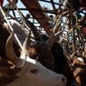 Depuis 1989 le cheptel de Madagascar a diminué de 50% et a pour conséquence de faire grimper la valeur de l'animal mais également le trafic.