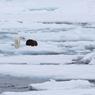 Cet ours polaire de Svalbard en Norvège cohabite avec un déchet qui flotte parmi les morceaux de glace. Les deux océans de l'hémisphère Nord contiennent 56% de toutes les particules de plastique présentes sur les mers du globe.