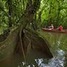 Le canoë s'enfonce en forêt inondée et déambule entre des arbres énormes aux racines-contreforts immergées.