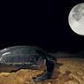Sous le bienveillant regard de la lune, la luth, la plus grande de toutes les tortues fait son apparition. Cette femelle se hisse avec peine sur le sable pour y pondre.